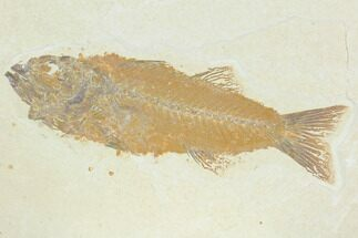 "5.4"" Fossil Fish (Mioplosus) - Uncommon Species For Sale, #122735"