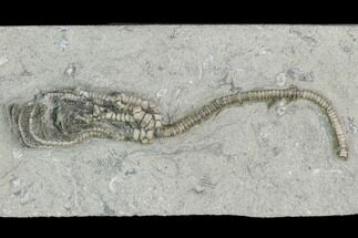 "Buy 2.9"" Crinoid (Pachylocrinus) Fossil - Crawfordsville, Indiana - #122962"