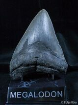 Big Georgia Megalodon Tooth On Stand, Item #1437