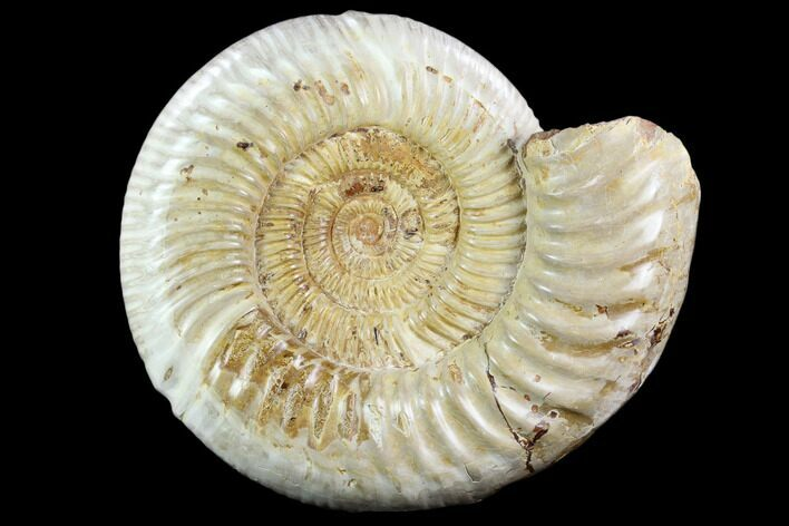 "8"" Polished Jurassic Ammonite (Perisphinctes) - Madagascar"