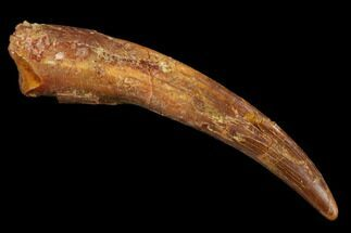 "Buy 2.03"" Pterosaur (Siroccopteryx) Tooth - Morocco - #123628"