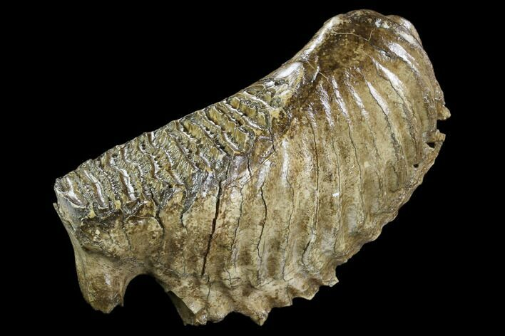 "10.0"" Fossil Woolly Mammoth Lower M3 Molar - North Sea Deposits"
