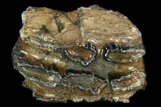 "4.0"" Partial, Southern Mammoth Molar - Hungary For Sale, #123653"