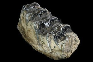 "5.6"" Partial Palaeoloxodon (Mammoth Relative) Molar - Hungary For Sale, #123659"
