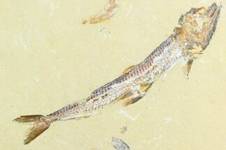"5.8"" Detailed, Cretaceous Fossil Fish (Prionolepis) - Lebanon For Sale, #124013"