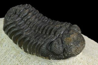 "Buy Bargain, 1.75"" Morocops Trilobite - Visible Eye Facets - #120091"