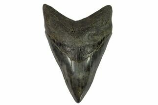 "Serrated, 5.08"" Fossil Megalodon Tooth For Sale, #124202"