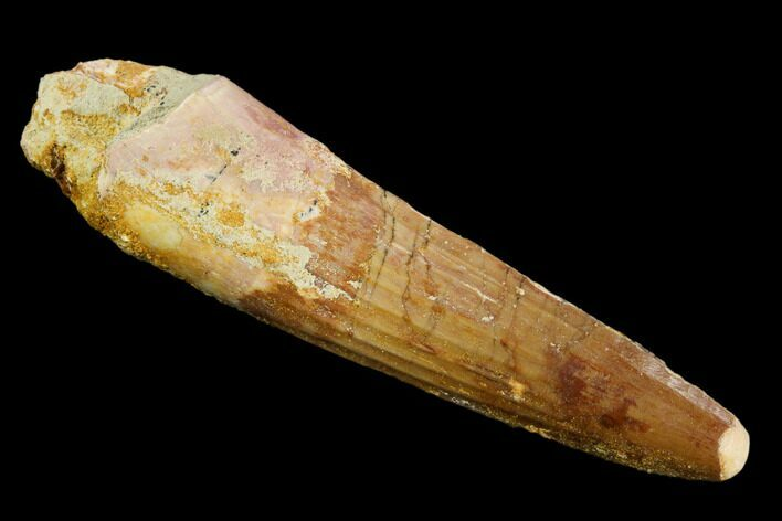 "2.41"" Real Spinosaurus Tooth - Feeding Worn Tip"