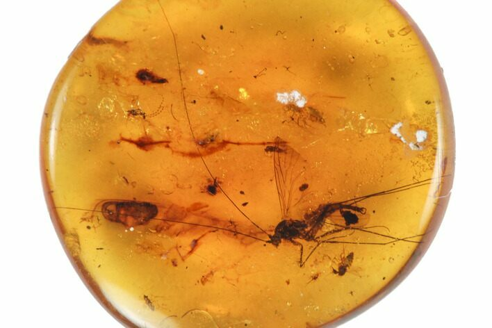 Fossil Crane Fly (Diptera) with Long Antennae in Amber - Myanmar