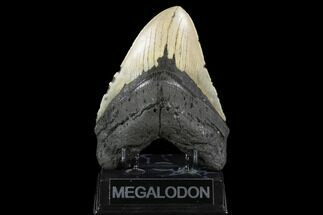 Carcharocles megalodon - Fossils For Sale - #124323