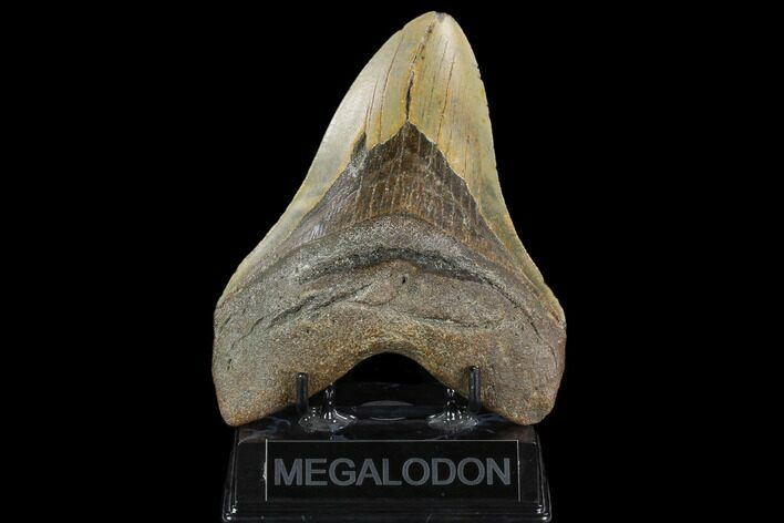 "Giant, 5.89"" Fossil Megalodon Tooth - North Carolina"
