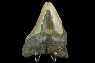 "Bargain, 3.55"" Fossil Megalodon Tooth - North Carolina For Sale, #124817"