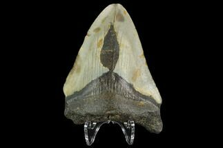 "Bargain, 3.19"" Fossil Megalodon Tooth - North Carolina For Sale, #124802"