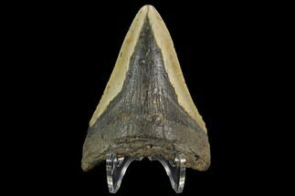 "Bargain, 3.54"" Fossil Megalodon Tooth - North Carolina For Sale, #124811"