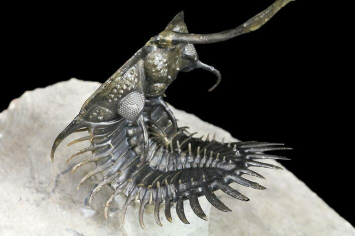 "3.5"" Trident"" Walliserops Trilobite - Flying Preparation"