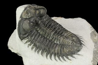 "2.2"" Coltraneia Trilobite Fossil - Huge Faceted Eyes For Sale, #125129"
