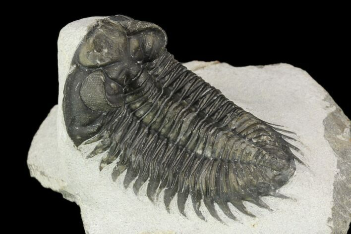 "2.2"" Coltraneia Trilobite Fossil - Huge Faceted Eyes"
