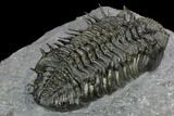 "3.85"" Spiny Drotops Armatus Trilobite - Excellent Preparation - #125201-4"