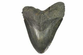 "Buy 5.15"" Fossil Megalodon Tooth - South Carolina - #124750"