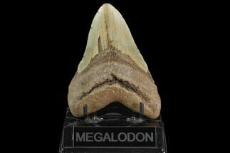 Carcharocles megalodon - Fossils For Sale - #124674