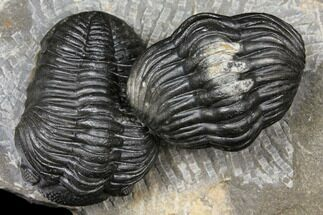 Buy Pair of Pedinopariops Trilobites - Mrakib, Morocco - #125293