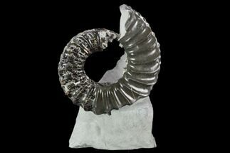 "Buy 1.8"" Ammonite (Pleuroceras) Fossil in Rock - Germany - #125422"
