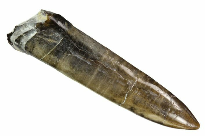 "2.8"" Polished Fossil Belemnite - Buttenheim, Germany"