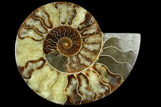 Cleoniceras - Fossils For Sale - #125568