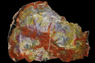 "Buy 15.5"" Rainbow Petrified Wood (Araucarioxylon) Round - Arizona - #125695"