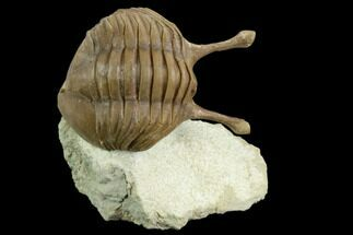 "2"" Stalk-Eyed Asaphus Kowalewskii Trilobite - Russia For Sale, #125651"