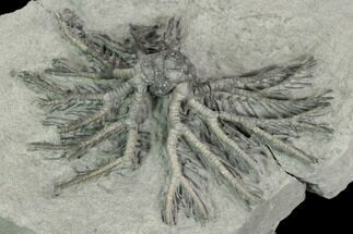 "3"" Crinoid (Decadocrinus) Fossil - Crawfordsville, Indiana For Sale, #125900"