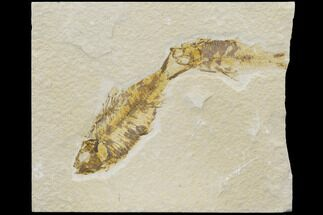 Knightia eocaena - Fossils For Sale - #126042