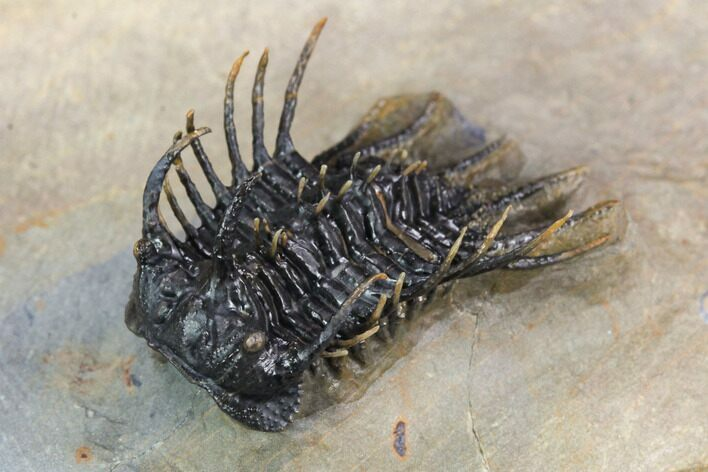 "1.3"" Rare Species Of Koneprusia Trilobite - Atchana, Morocco"