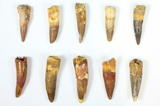 "Buy Wholesale Lot: 1.8 to 2.5"" Bargain Spinosaurus Teeth - 10 Pieces - #126274"