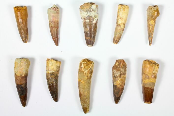 "Wholesale Lot: 1.8 to 2.5"" Bargain Spinosaurus Teeth - 10 Pieces"