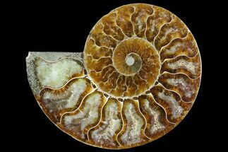 Cleoniceras - Fossils For Sale - #125070