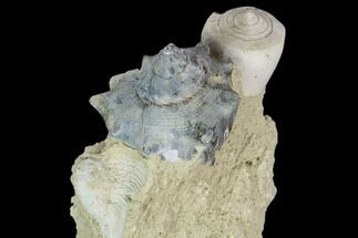 "Buy 3.4"" Tall, Miocene Fossil Gastropod Cluster - France - #113680"