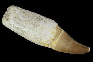 "2.9"" Fossil Rooted Mosasaur (Prognathodon) Tooth - Morocco For Sale, #116954"