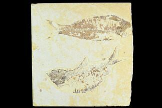 Knightia eocaena - Fossils For Sale - #126564