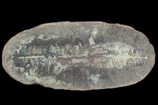 Pecopteris sp. - Fossils For Sale - #121098