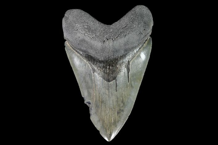 "Serrated, 4.84"" Fossil Megalodon Tooth - South Carolina"