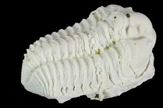 "1.25"" Calymene Celebra Trilobite - Illinois For Sale, #126815"