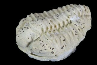 Calymene celebra - Fossils For Sale - #126819