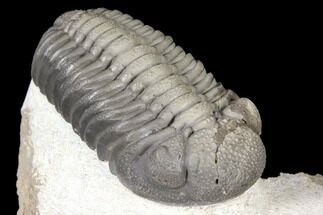 "2.35"" Detailed Morocops Trilobite - Multi-Toned Shell For Sale, #127022"