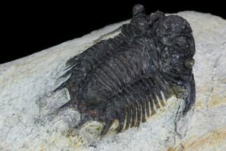 Acanthopyge bassei - Fossils For Sale - #126921