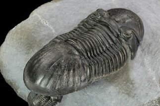 Pair Of Well Prepared Paralejurus Trilobites - Mrakib, Morocco For Sale, #127007
