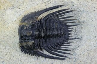 ".75"" Spiny Leonaspis Trilobite - Morocco For Sale, #126926"