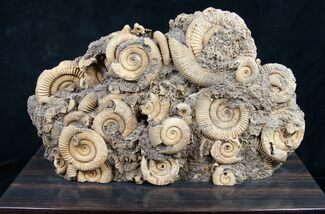 Buy Dactylioceras Ammonite Cluster On Wood Base - #8827
