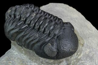 "Buy 2"" Austerops Trilobite - Nice Eye Facets - #127180"