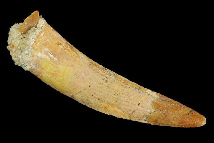 "Large, 1.58"" Pterosaur (Siroccopteryx) Tooth - Morocco"